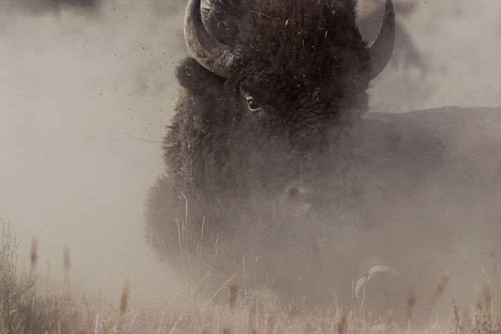 Ein Bison suhlt sich im Staub auf dem American Prairie Reserve, einem Naturschutzprojekt, das ein riesiges ...