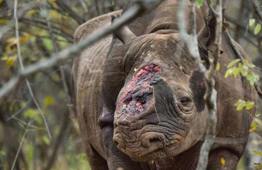 Ein Spitzmaulnashorn im Naturschutzgebiet Savé Valley in Simbabwe. Wilderer haben es angeschossen und ihm beide Hörner ...