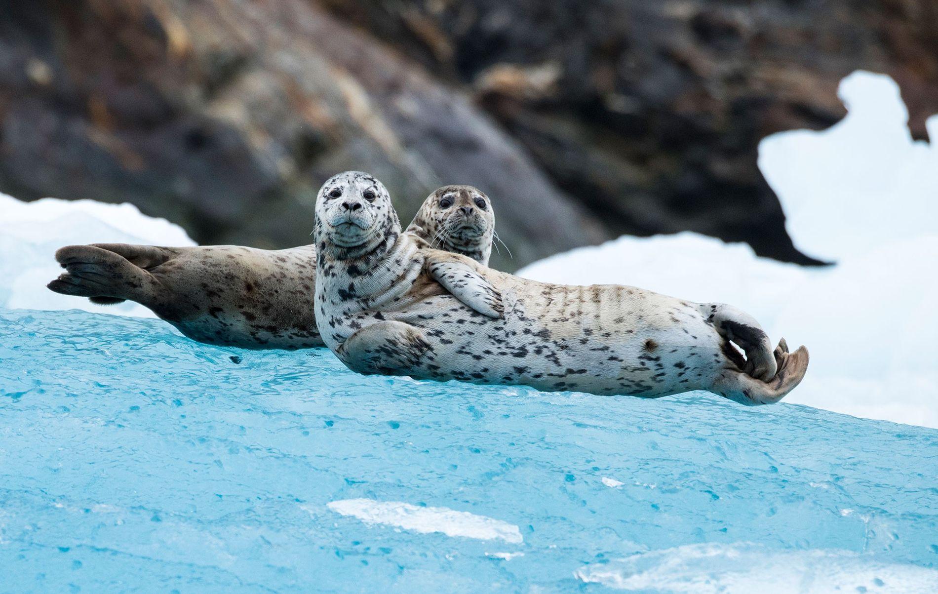 Diese beiden neugierigen Seehunde wurden am South Sawyer-Gletscher in Alaska aufgenommen. Seehunde sind die ersten Meeressäuger, ...