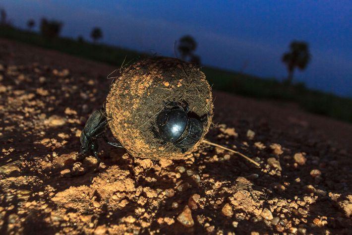 Dieser Heilige Pillendreher, ein Mistkäfer der Art S. sacer, rollt in Uganda einen Kotball vor sich ...