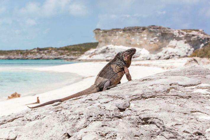 Auf dieser Insel der Exuma Cays haben Leguane gelernt, dass Menschen am Strand ein Indiz für ...