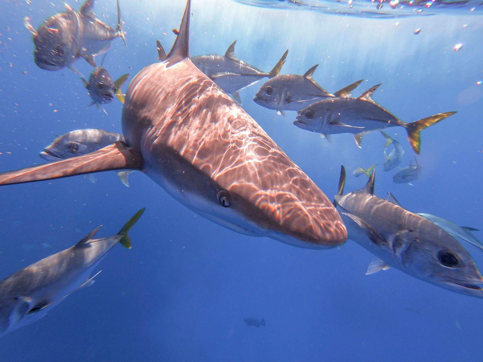 Dank strenger Richtlinien und Gesetze gedeiht die Haipopulation auf den Bahamas prächtig.