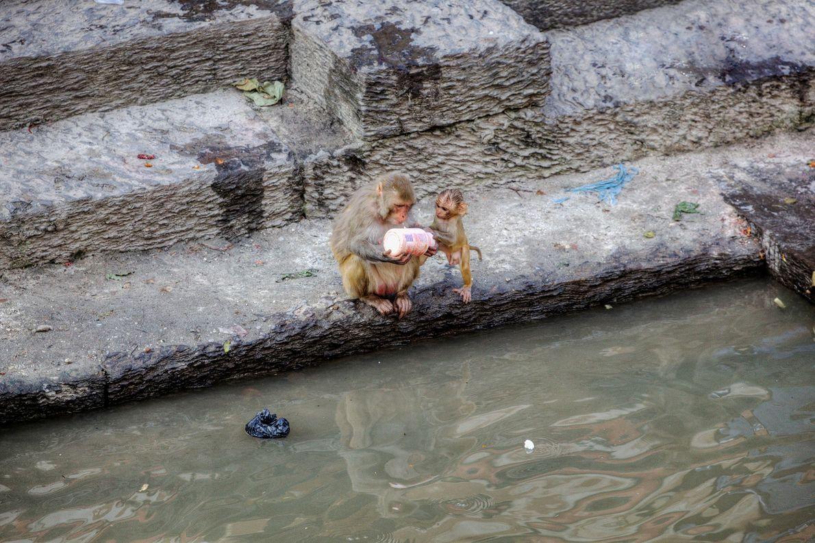 Neugierige Rhesusaffen inspizieren eine weggeworfene Plastikflasche vor dem Pashupatinath-Tempel in Kathmandu, Nepal.