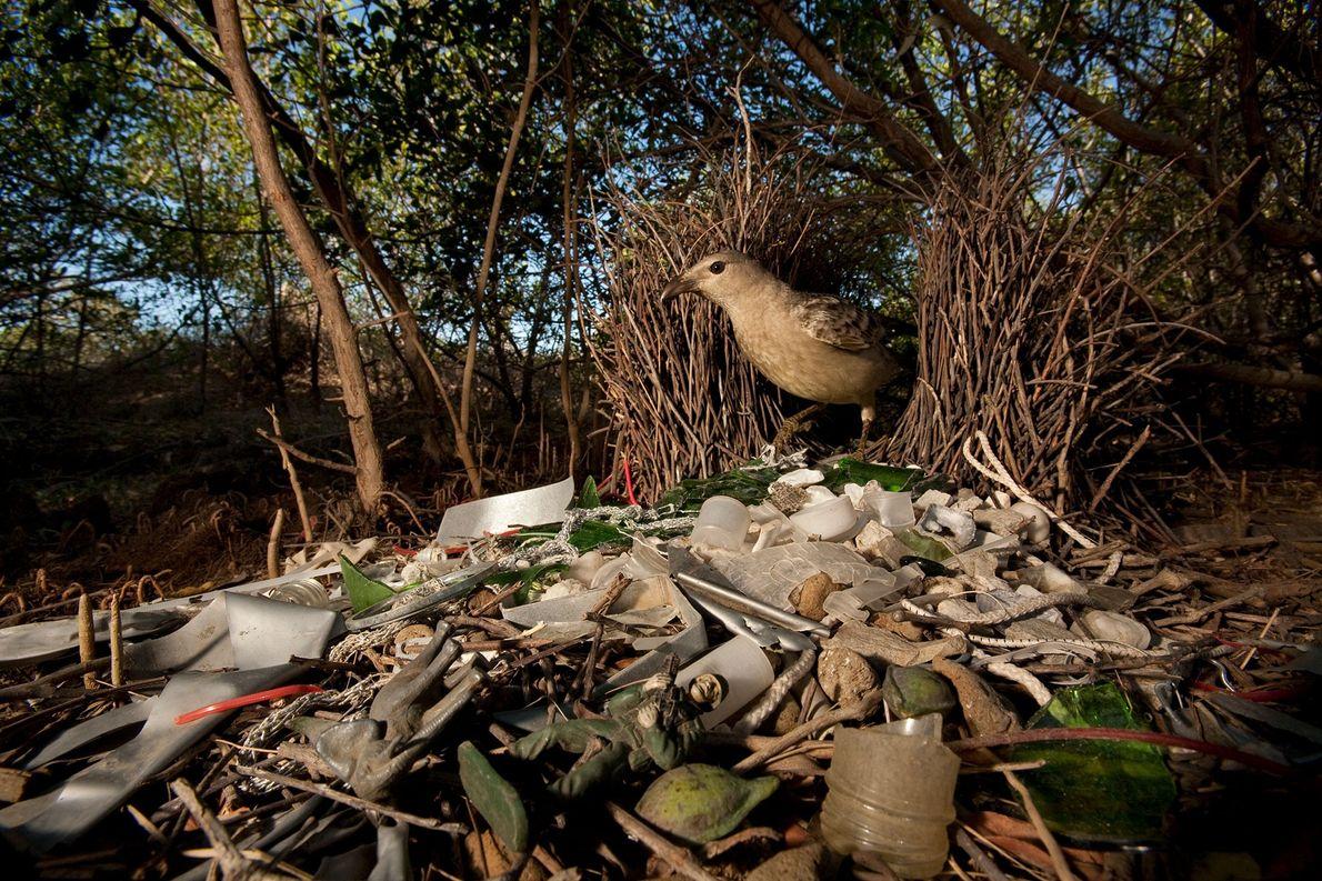 Ein Graulaubenvogel in Queensland, Australien, der sein Zuhause mit Glasscherben, Plastikspielzeug und anderem vom Menschen verursachten …