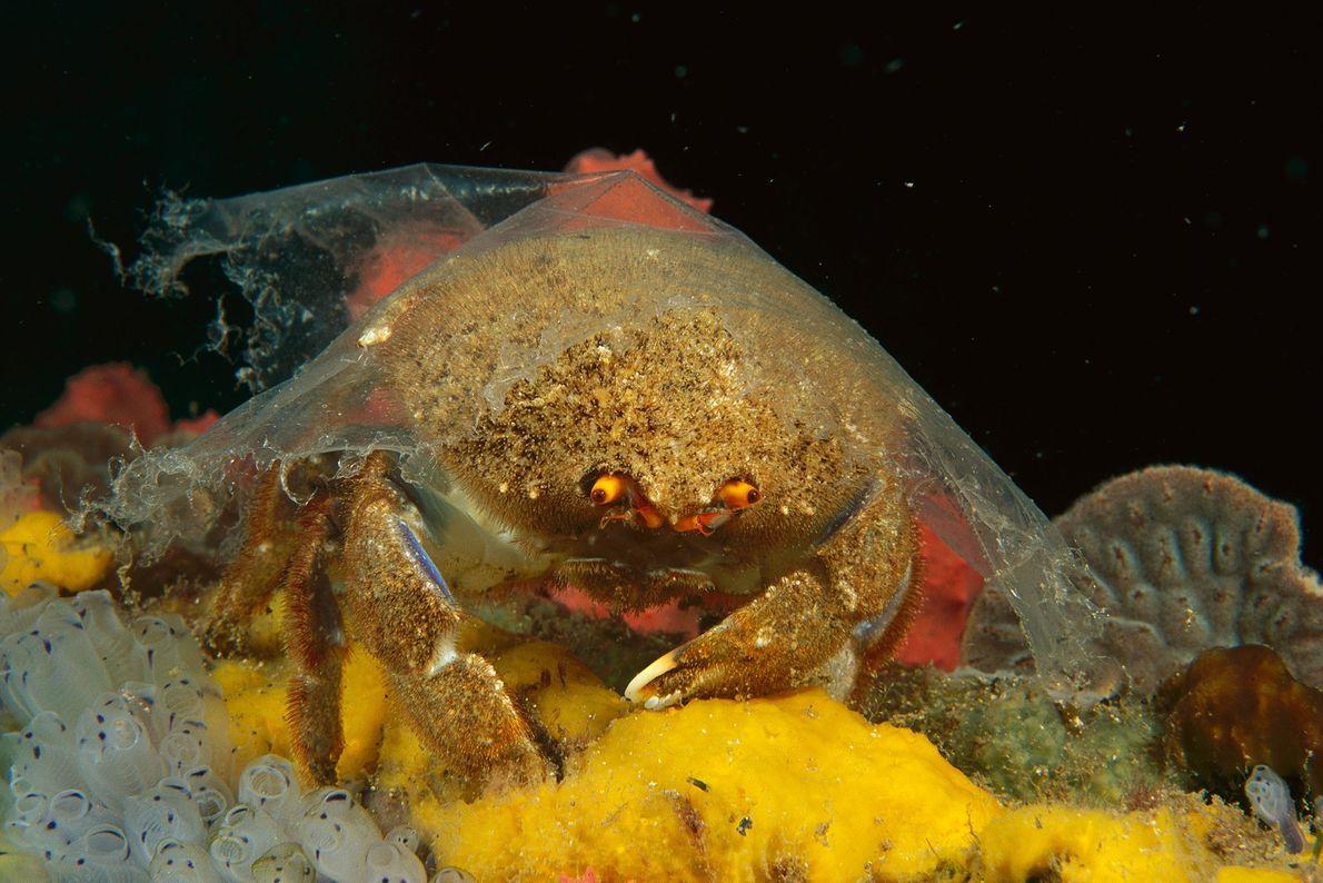 Eine Krabbe der Art Pseudodromia latens in Edithburgh, Australien, mit einer Plastikhülle über ihrem Panzer. Normalerweise ...
