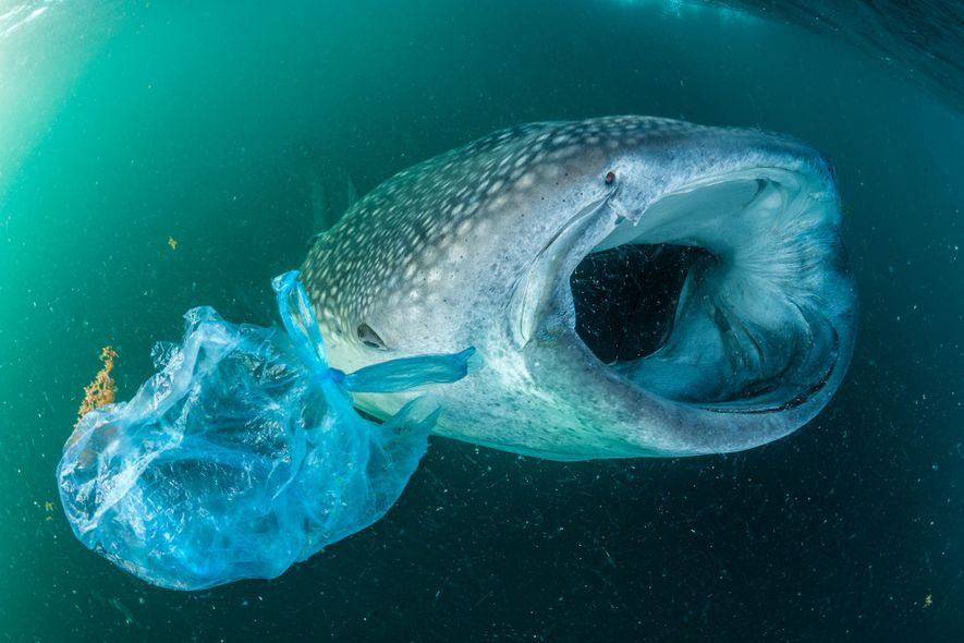 Ein Walhai, der im Golf von Aden in der Nähe des Jemen neben einer Plastiktüte schwimmt. ...