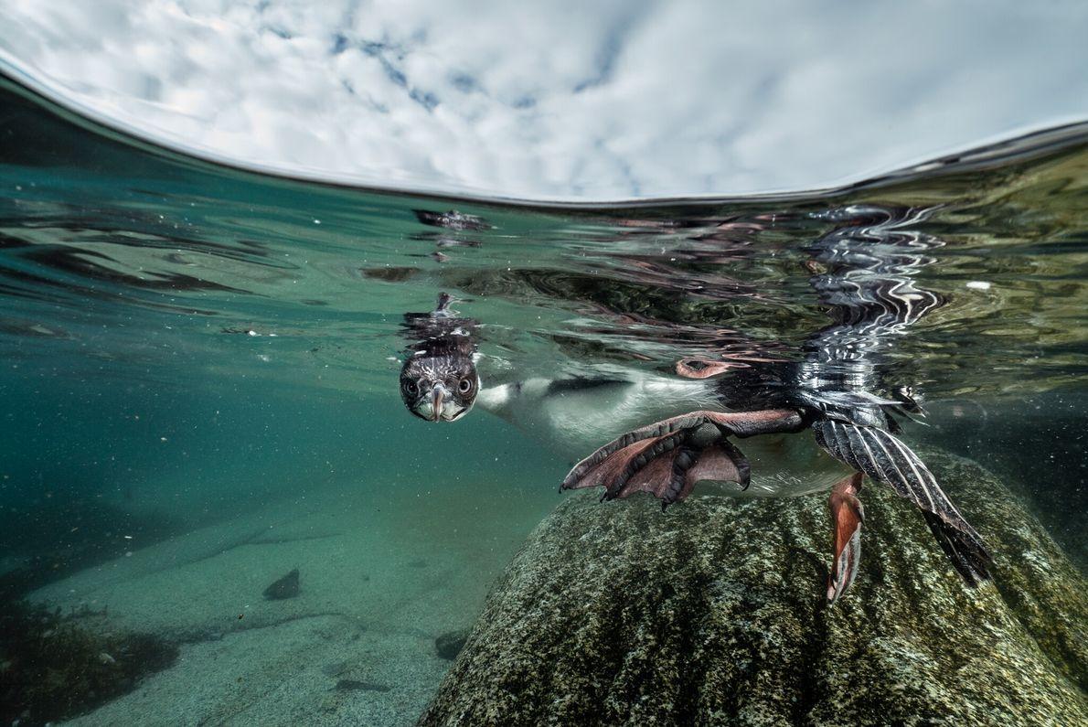 Ein junger Kormoran versucht sich an seinem vielleicht ersten Tauchgang in Küstennähe. Viele fliegende Seevögel nisten ...