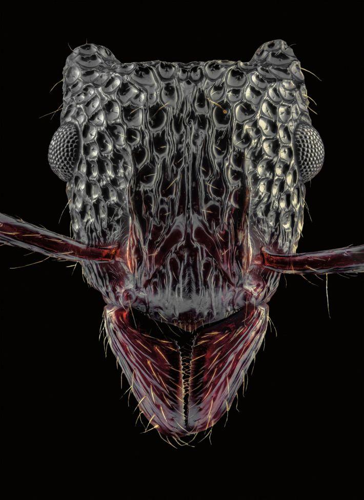 Gnamptogenys bicolor - China