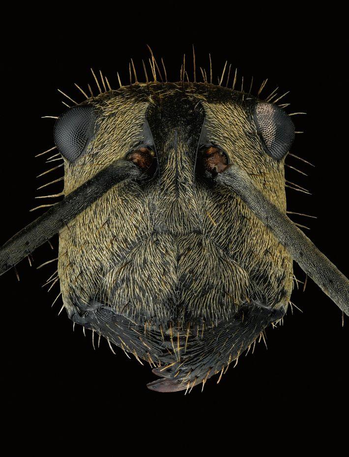 Polyrhachis beccarii