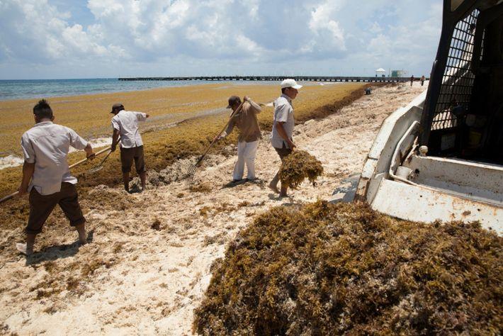 Mit Rechen und einem Traktor entfernen Arbeiter den Seetang von einem Strand bei Playa del Carmen.