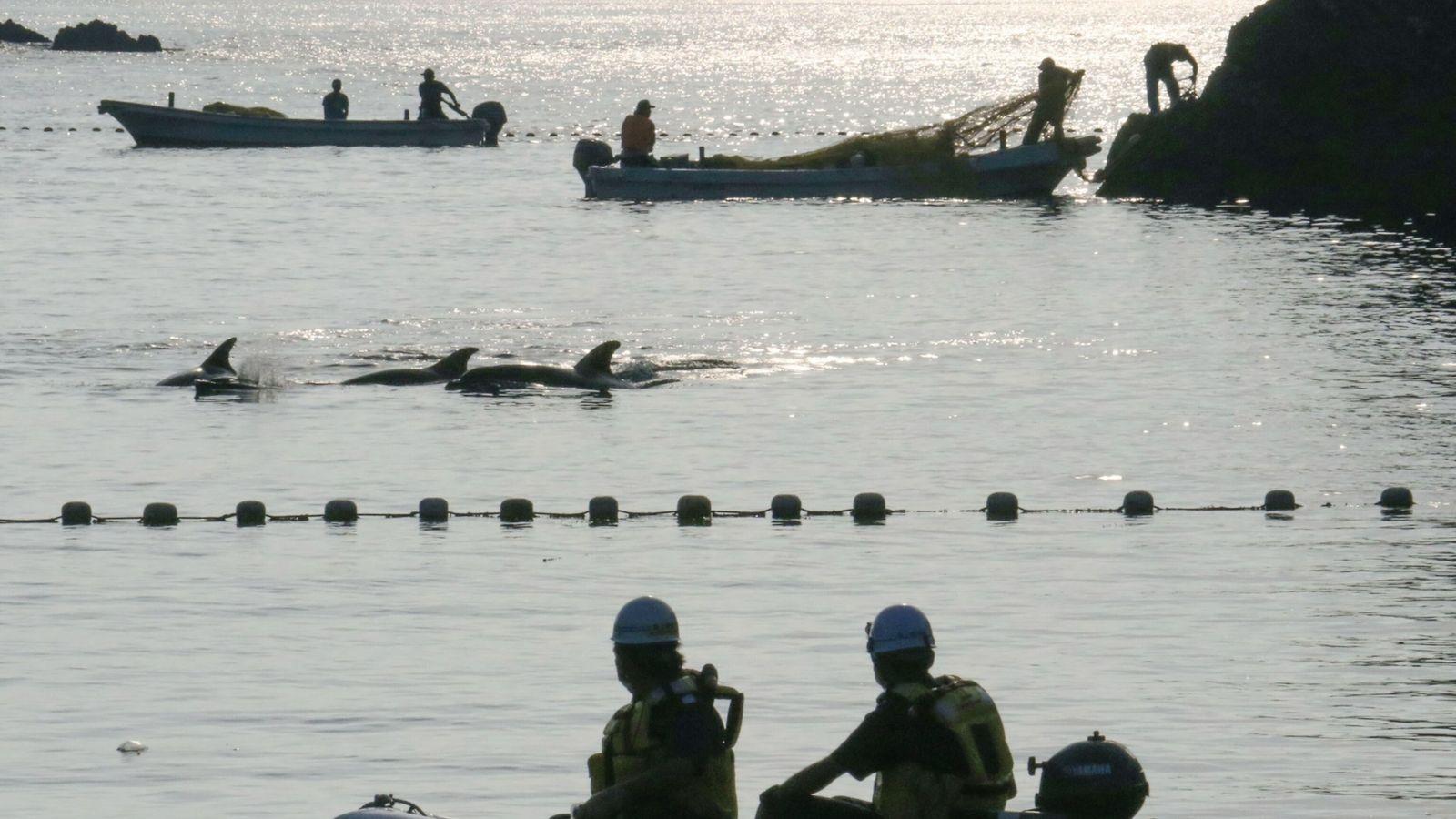 Am ersten Tag der Delfinjagd in Taiji wird eine Gruppe Tümmler in die Bucht getrieben. Die ...