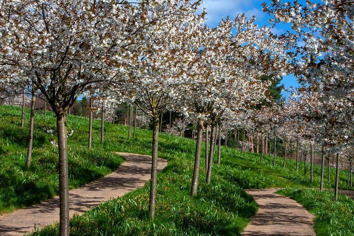 Kirschgarten in der Gartenanlage bei Alnwick Castle
