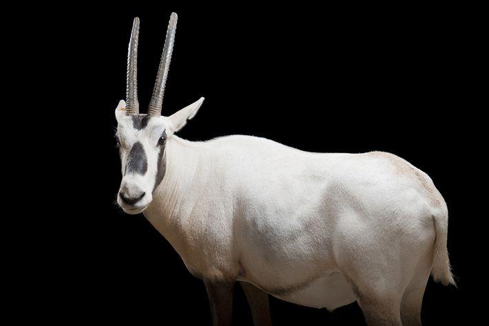 Die Arabische Oryx (Oryx leucoryx) ist bislang die einzige Tierart, die von der Weltnaturschutzunion von ihrem ...