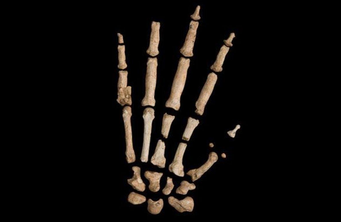 """""""Ardis"""" Hand war etwa so groß wie die Hand eines modernen Menschen, obwohl der Ardipithecus viel …"""