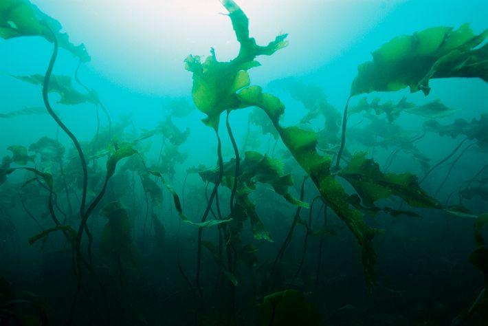 Bakterien, die auf Meeresalgen leben, haften mit einem Biofilm an der Pflanzenoberfläche. Wenn sie bereit sind, ...
