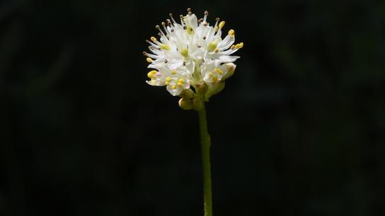 Triantha occidentalis hat hübsche, weiße Blütenblätter und am Stiel feine Tentakel, die Insekten fangen und verdauen.