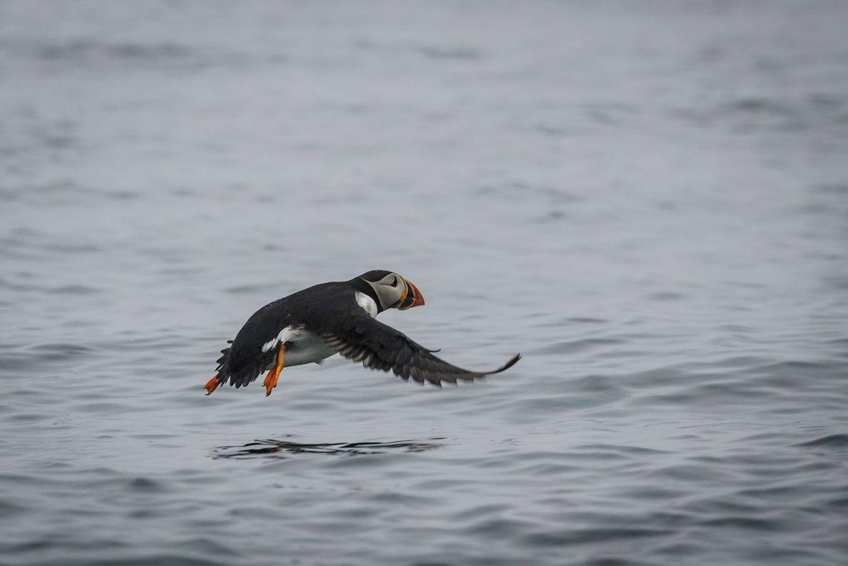 Ein Papageitaucher fliegt im kanadischen Mingan Archipelago National Park Reserve über dem Meer.