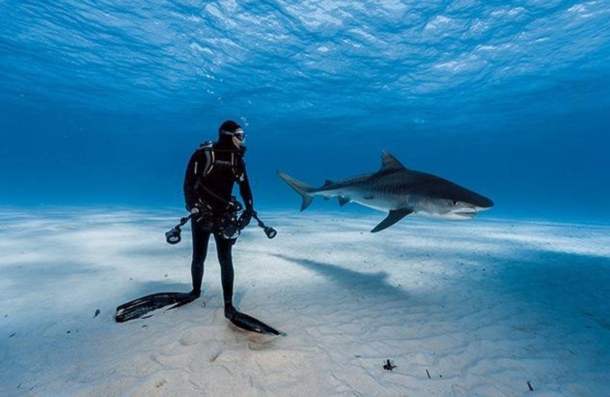 Vor den Bahamas behält ein Taucher einen Tigerhai im Auge. Die Situation ist weitgehend ungefährlich: Dass …