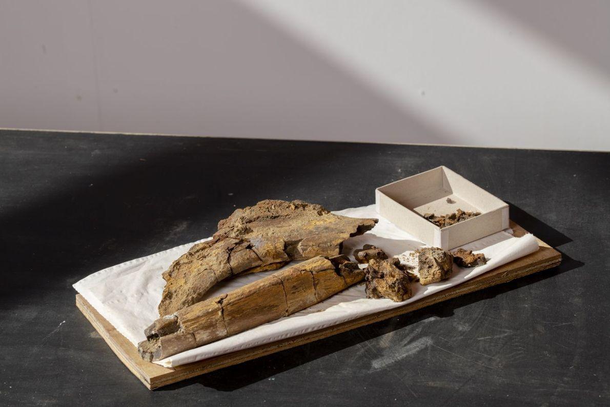 Versteinerte Dinosaurierknochen