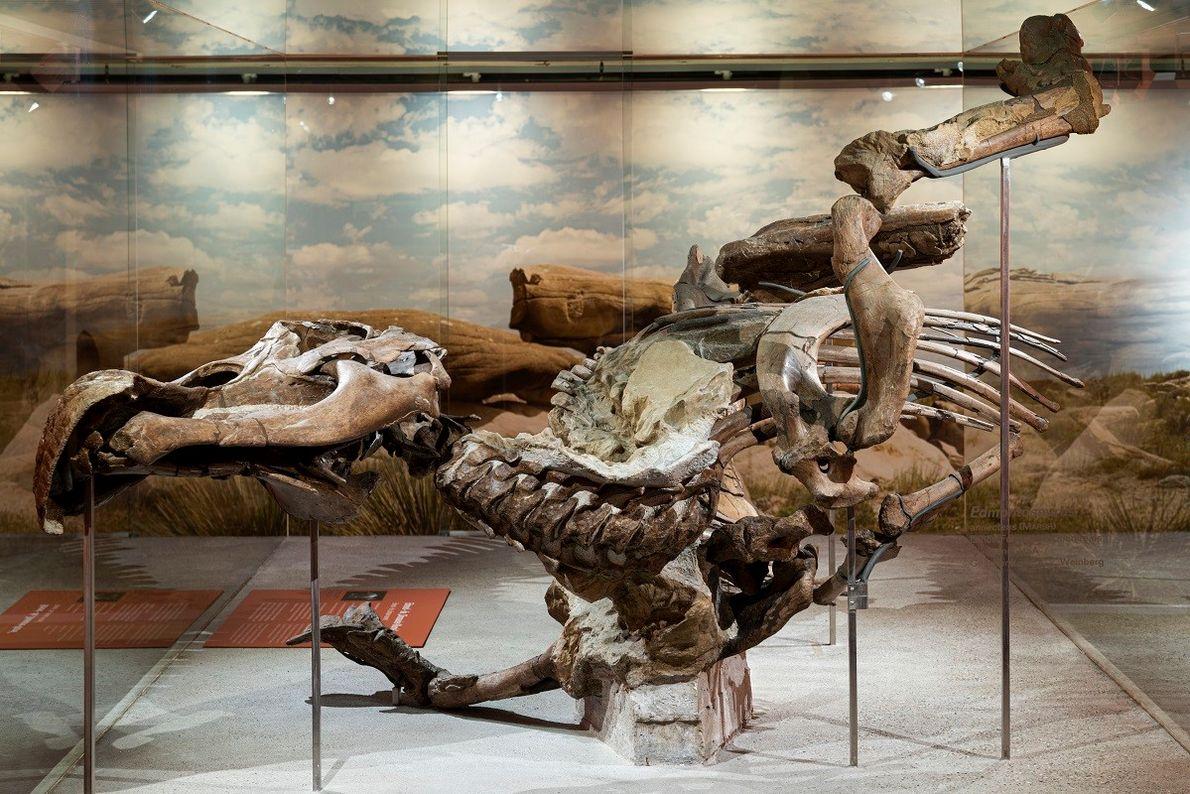 Die Senckenberg-Mumie eines 66 Millionen Jahre alten Edmontosaurus gilt sie bis heute als eines der wichtigsten ...