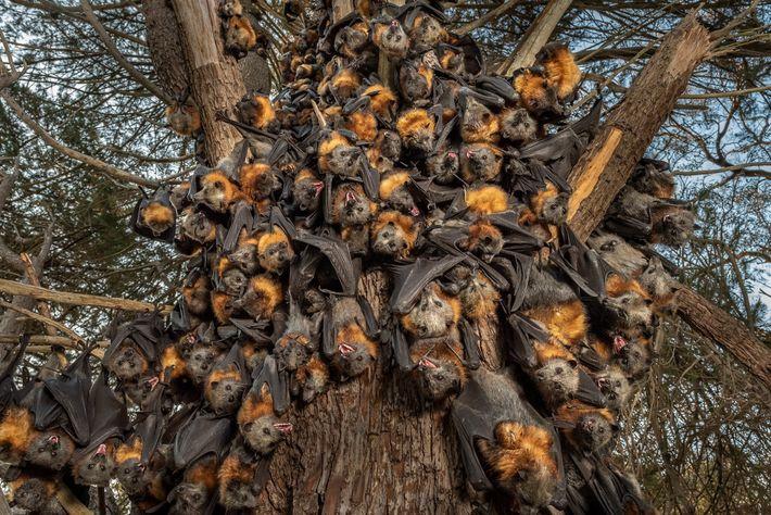 Dutzende von hechelnden Graukopf-Flughunden rotten sich Ende Dezember 2019 auf einem Baum im Yarra-Bend-Park bei Melbourne ...
