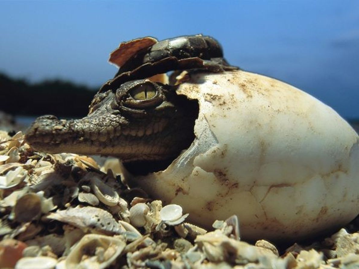 Schlüpfendes Krokodil