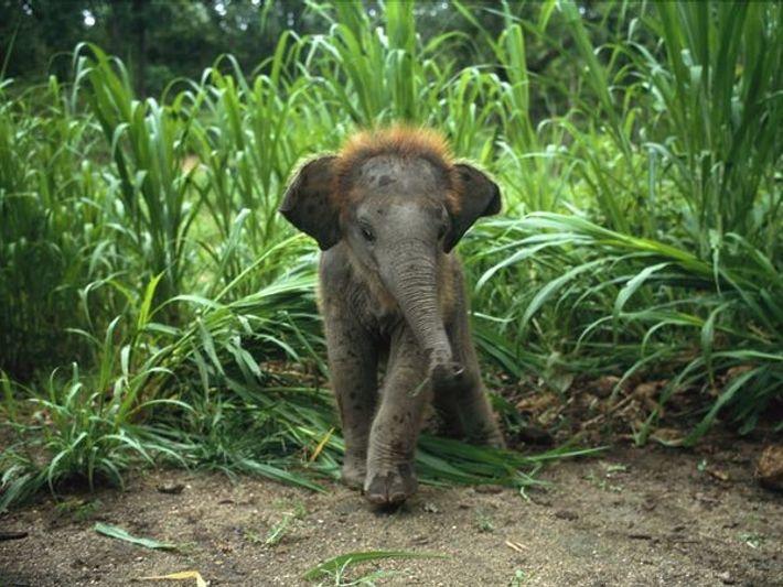 Asiatisches Elefantenjunges im hohen Gras