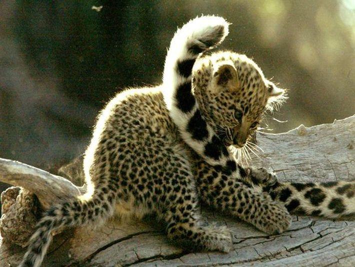 Leopardenjunges spielt mit Schwanz der Mutter