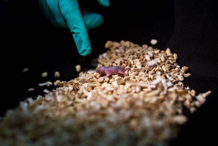 Diese Maus hatte zwei Väter. Das Jungtier wurde zwar ausgetragen, aber der Nachwuchs der zwei männlichen ...