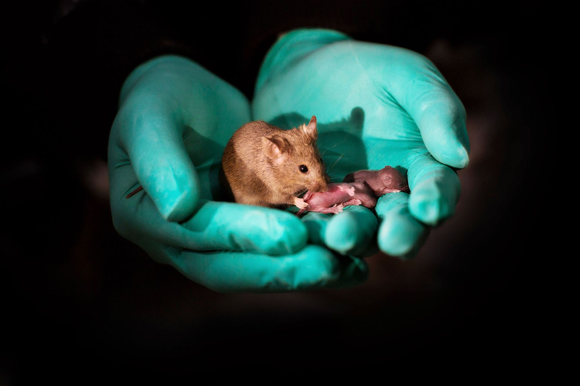 Mit Hilfe von Genome Editing brachten zwei weibliche Mäuse diesen Nachwuchs zur Welt. Das vordere Jungtier ist mittlerweile ausgewachsen und hat zwei eigene Jungen.