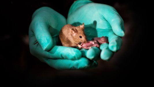 Genome Editing: Forscher züchten Mäuse mit zwei Vätern