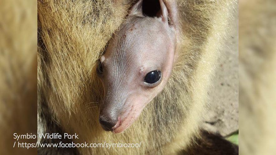 Zeitraffer zeigt Baby-Wallaby beim Wachsen im Beutel seiner Mutter