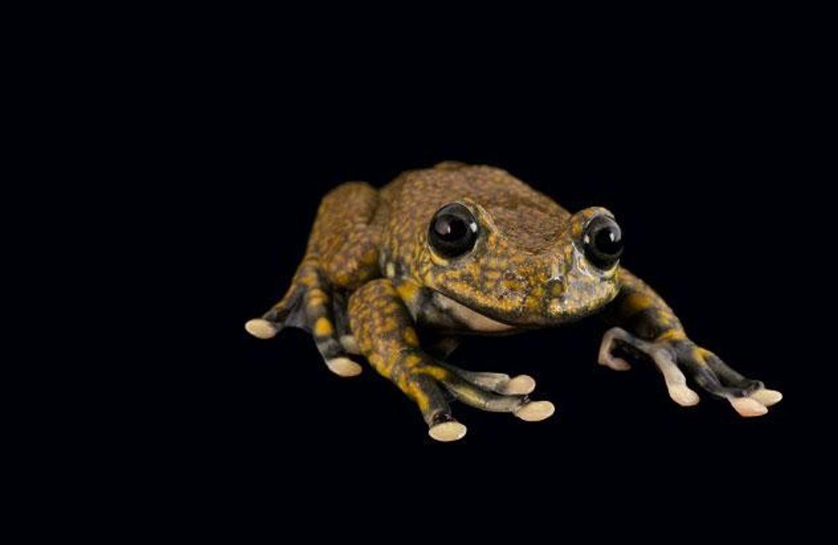 Bachfrosch (Hyloscirtus pantostictus)