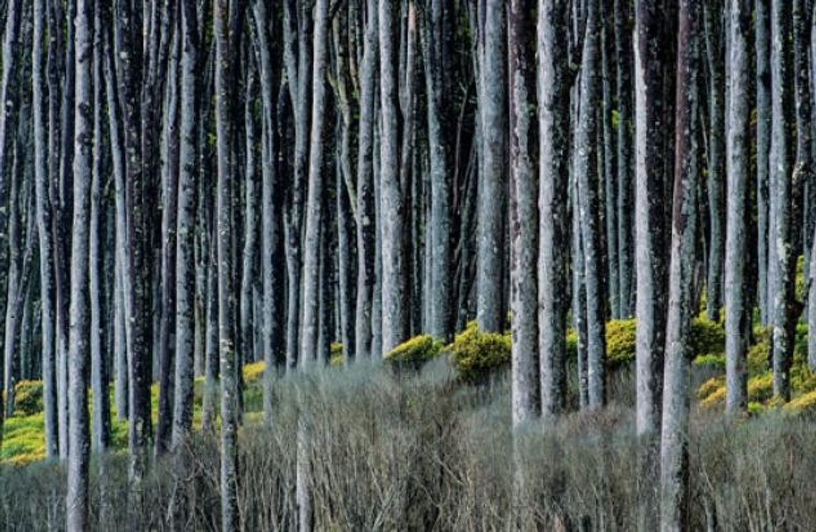 Bäume aus Gondwana