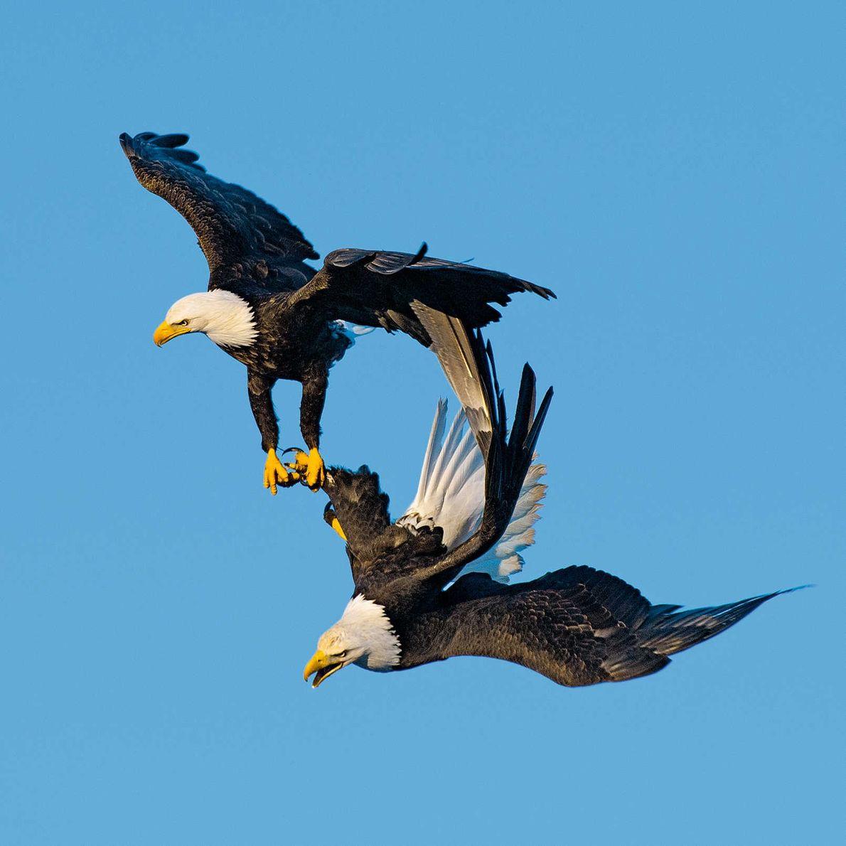 Zwei Weißkopfseeadler halten einander bei einem riskanten Balzritual in der Luft fest.