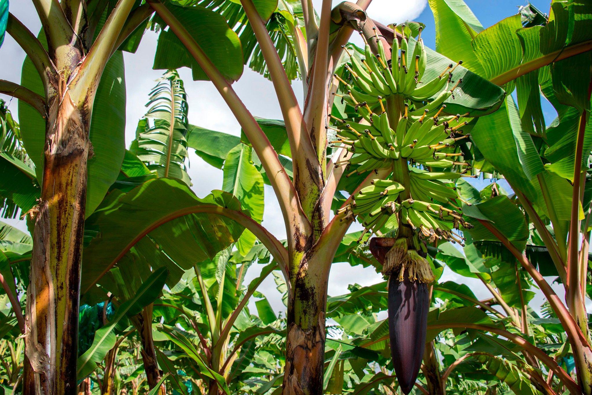 Pilzepidemie: Die Banane droht zu verschwinden | National Geographic
