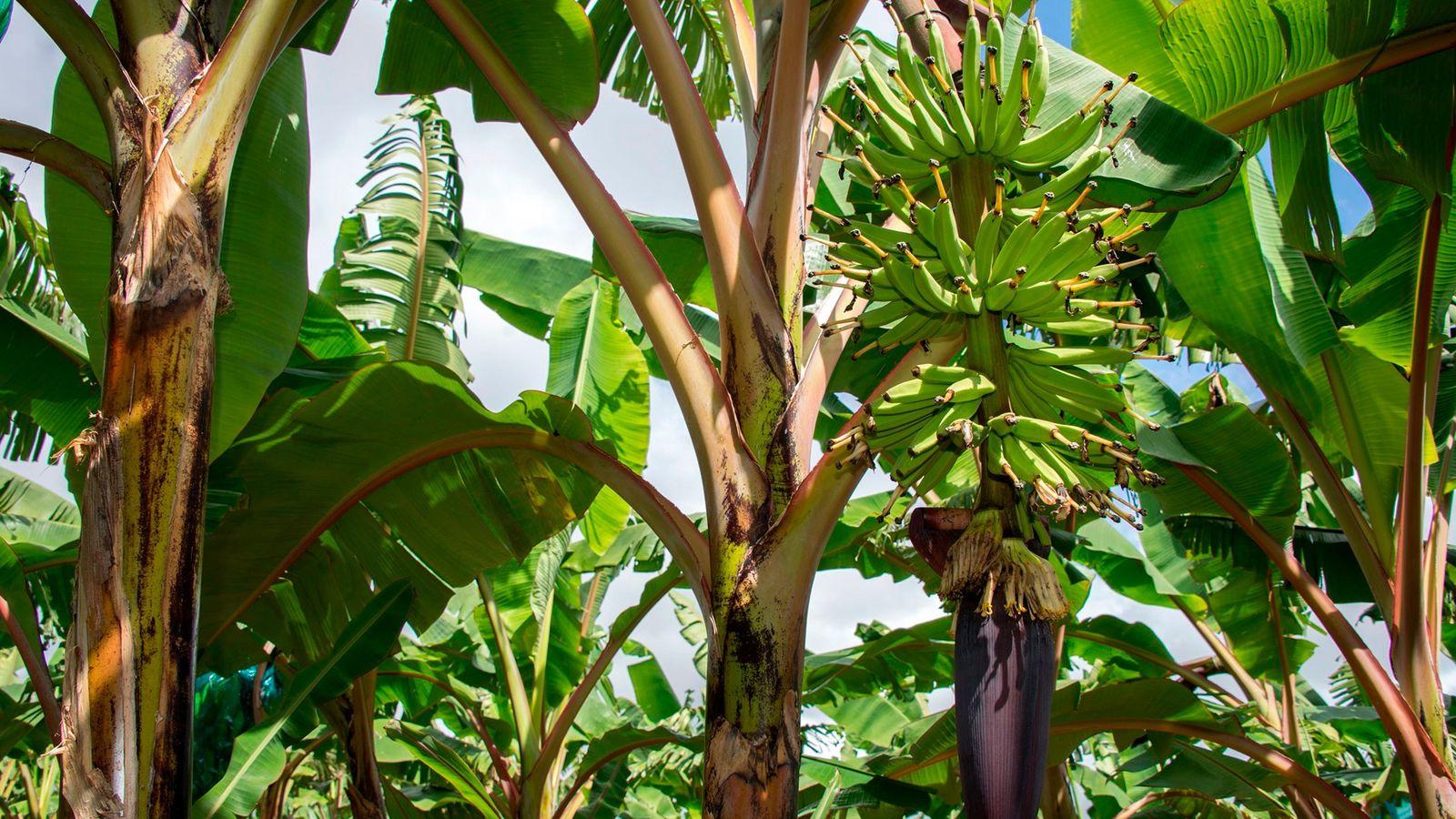 Bananenpflanzen auf einer Plantage in Guadalupe am 10. April 2018. Ein tödlicher Pilz bedroht die Zukunft ...