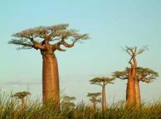 Die seltsam anmutenden Baobab-Bäume sind fast zu Wahrzeichen Madagaskars geworden.
