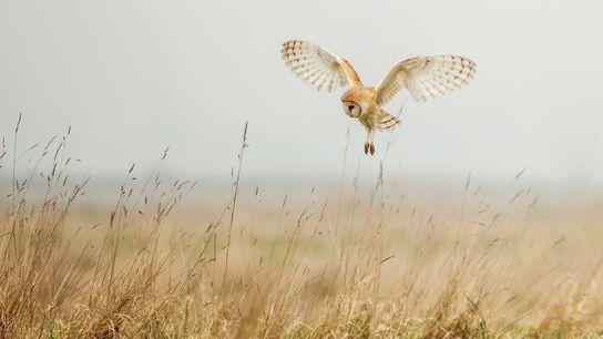 Eine Schleiereule fliegt über eine Wiese in Norfolk, England.