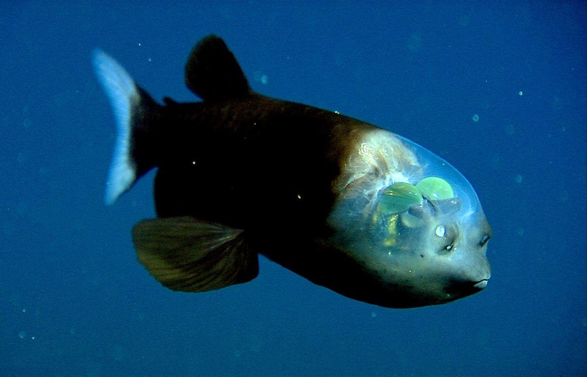 Gespensterfisch - Schaurig schöne Tierwelt