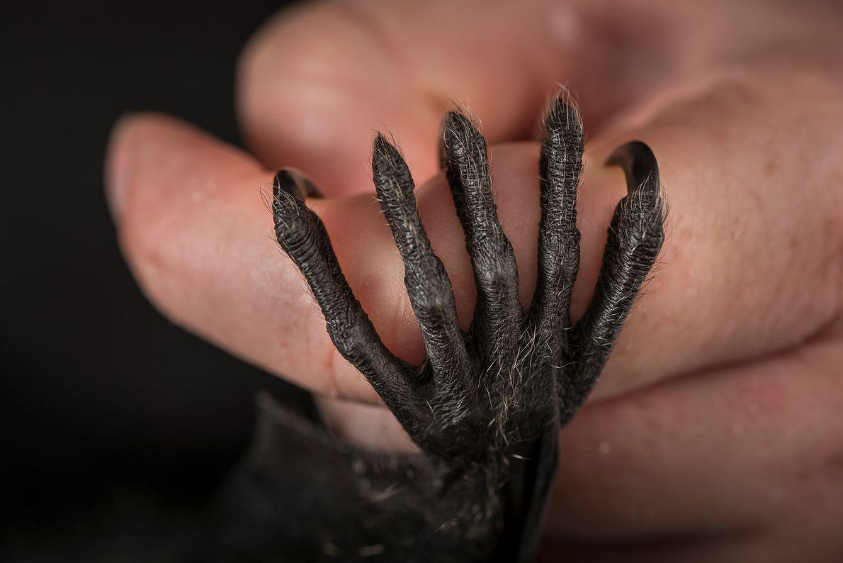 Ein verwaistes Graukopf-Flughundjunges hält sich am Finger eines Pflegers fest