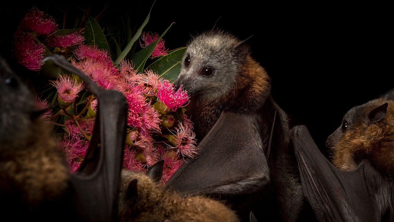 Flughund auf Blumen