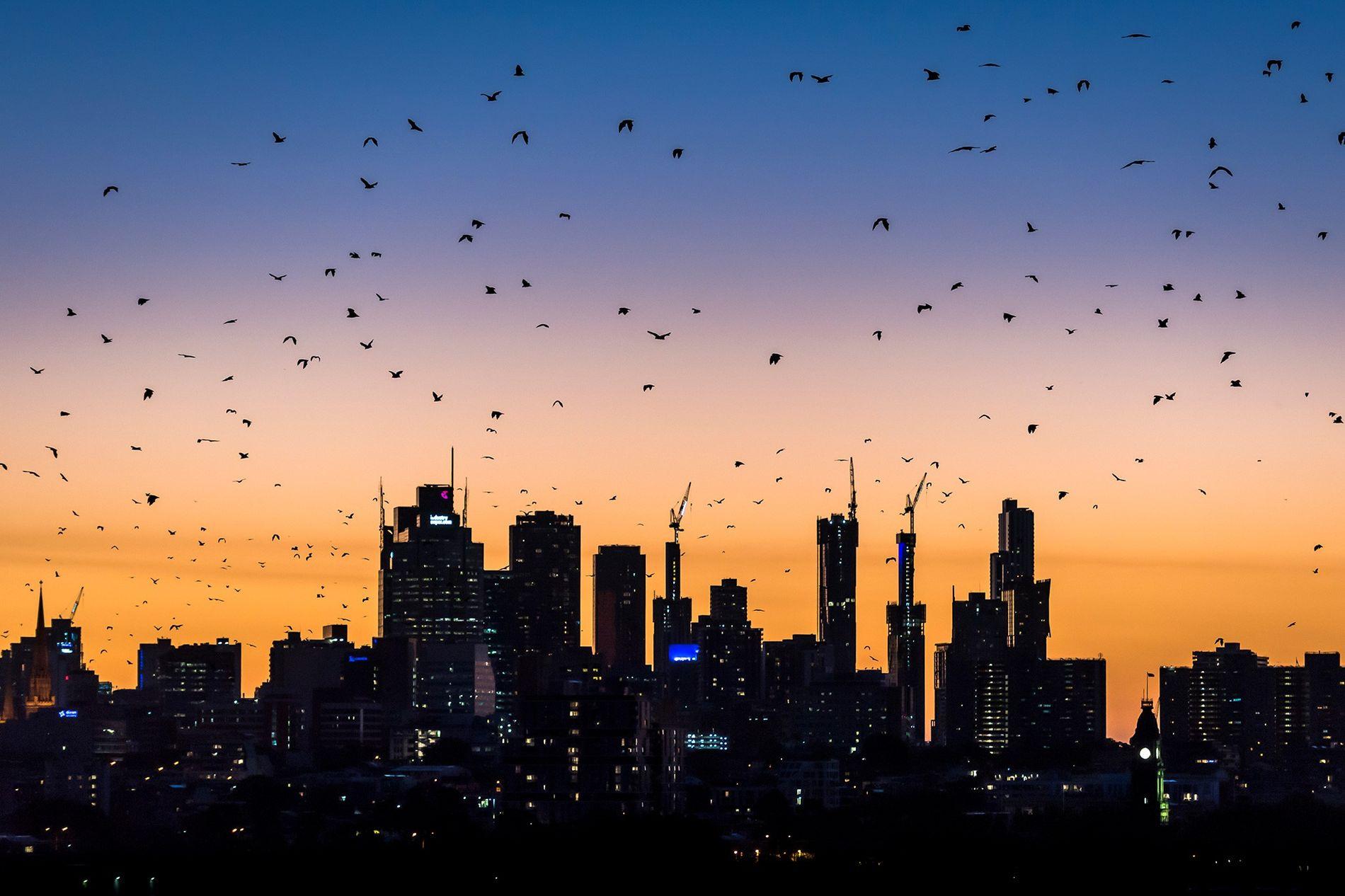 Graukopf-Flughunde fliegen an einem warmen Sommerabend auf der Suche nach Nahrung durch die Stadt. Nachts machen ...