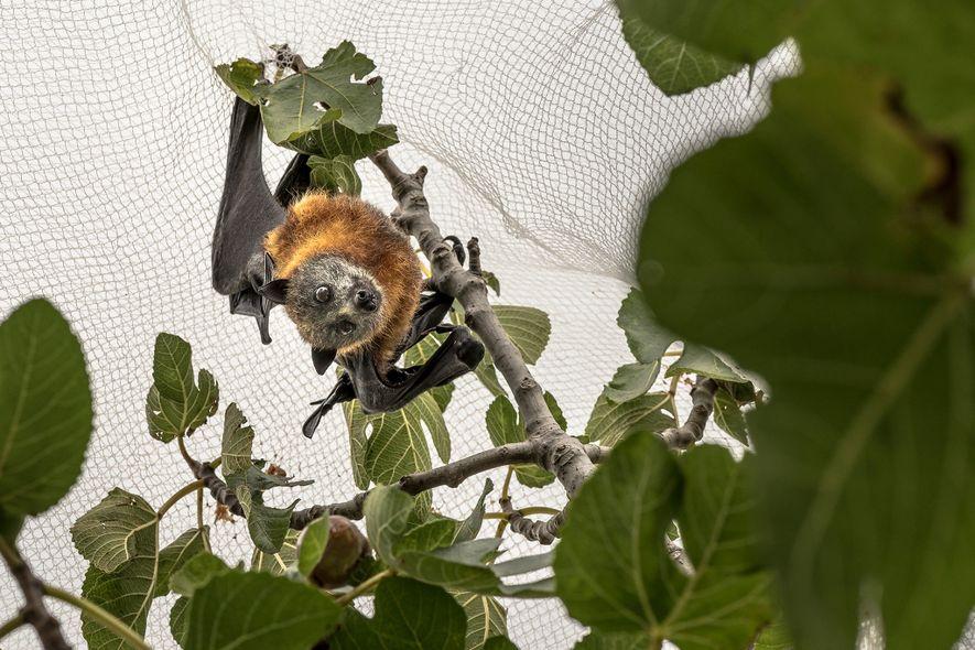 Ein Graukopf-Flughund ist unter einem Baumnetz in einem privaten Garten gefangen. Die Netze sollen die Tiere ...