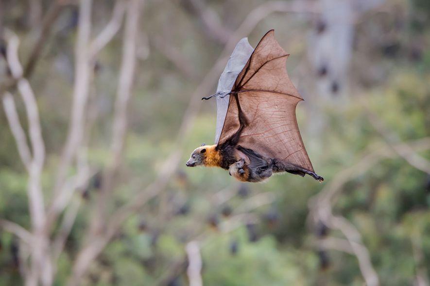 Eine Flughund-Mutter kann bis zu 40 km/h schnell fliegen, während sie gleichzeitig ihr Junges säugt.