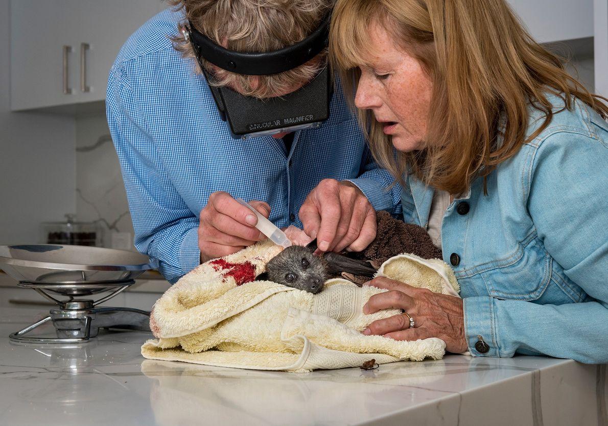 Die Wildtierretter Paul und Bev behandeln einen verletzten Graukopf-Flughund in ihrer Küche