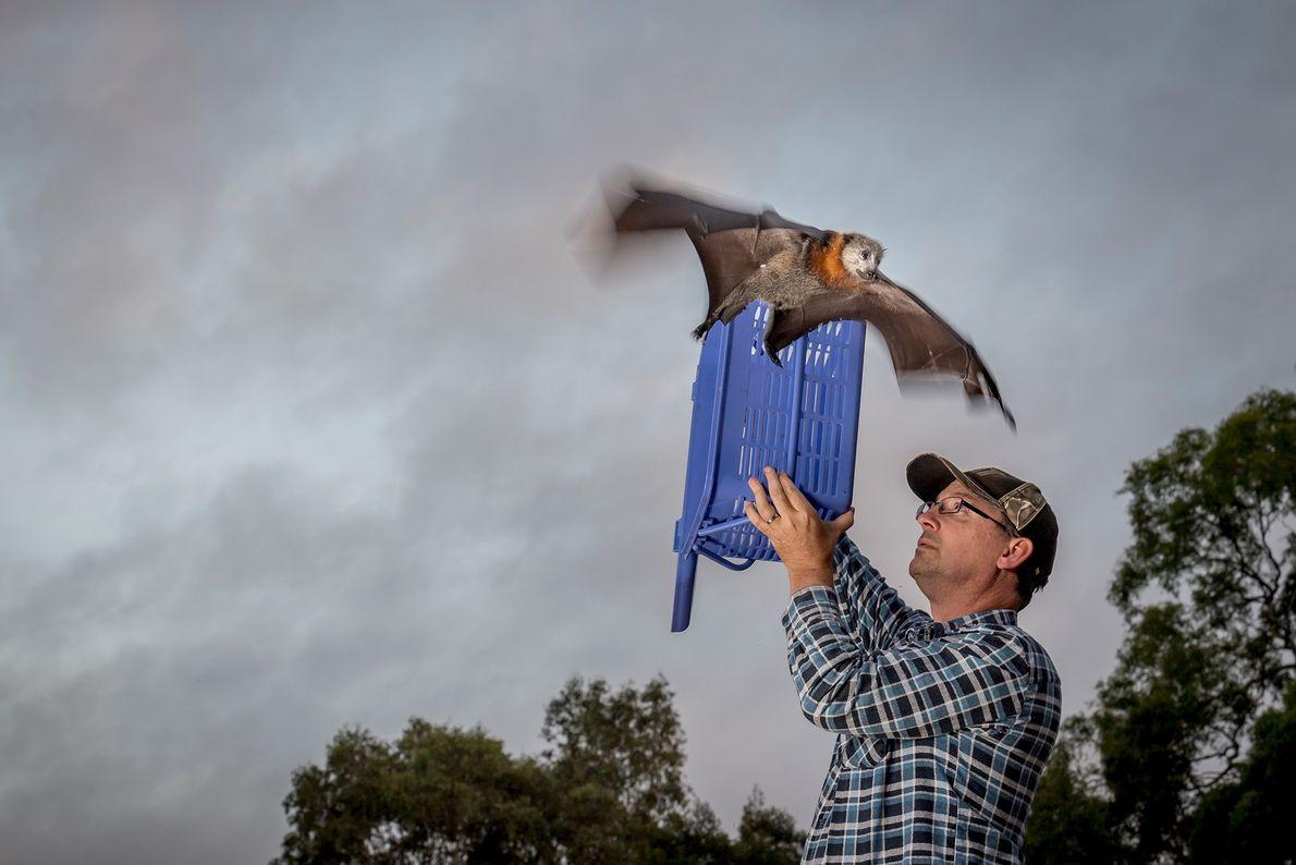 Ein geretteter Graukopf-Flughund wird in Melbourne wieder in die Freiheit entlassen