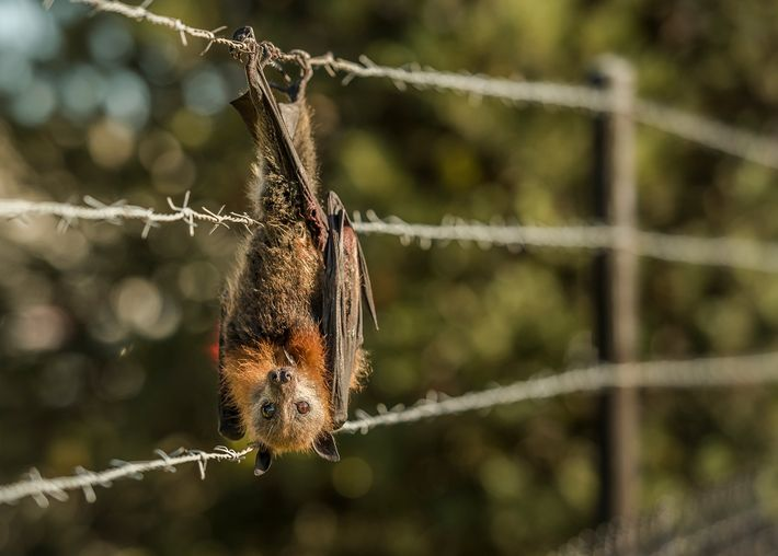 Ein Graukopf-Flughund hat sich in Stacheldraht verfangen