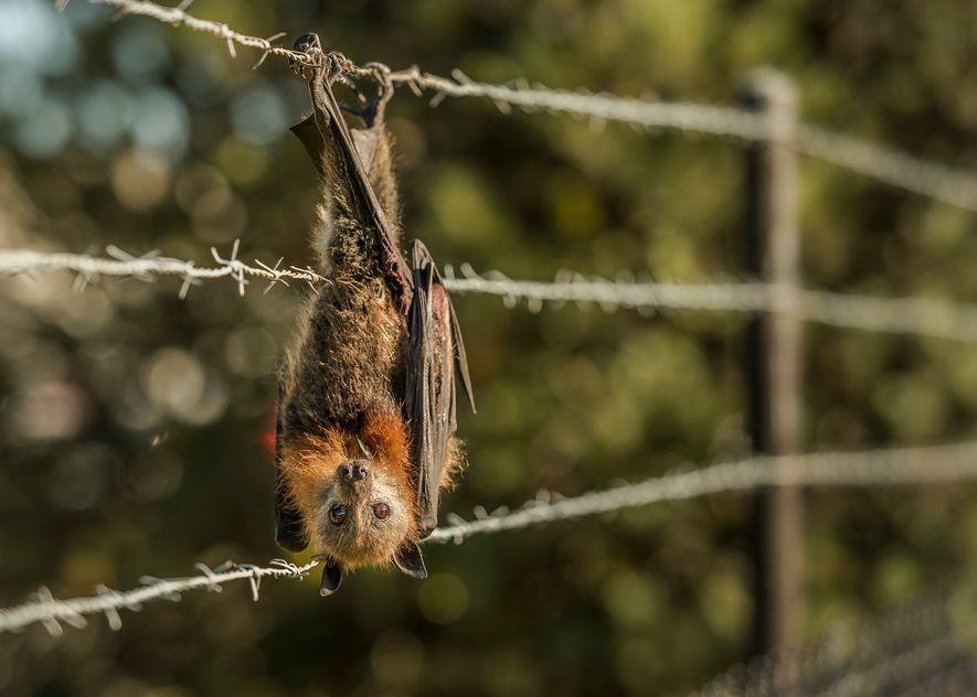 Ein Graukopf-Flughund hat sich in Stacheldraht verfangen, der eine Fabrik in Melbourne umgibt. Das Tier wurde ...