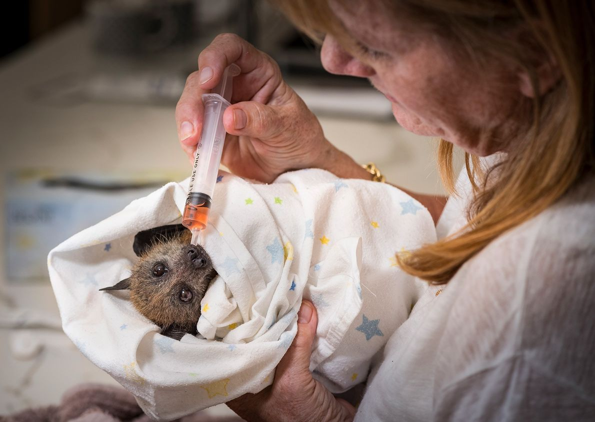 Tierpflegerin Bev Brown kümmert sich um ein gerettetes Graukopf-Flughundjunges